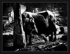 Friendship... (masadali) Tags: pakistan white black tree cow friendship hen soe islamabad