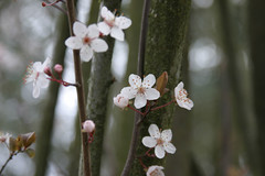 Tree blossoms -- unknown