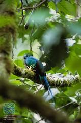 Quetzal (Habla Ya Spanish Courses & Tours in Panama) Tags: panama quetzal quetzals