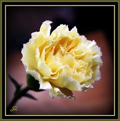 Yellow carnation (bonksie61) Tags: flower yellow carnation smörgåsbord digitalcameraclub avision almostanything ♪♪♪kartpostalpostcard♪♪♪