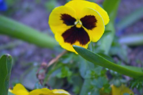 yellow flowers, istanbul ,pentax k10d