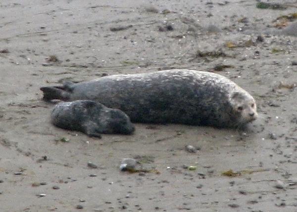 newborn seal