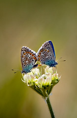 Butterfly Couple (Ali Majdfar) Tags: flower iran mating taleghan gettyimagesmiddleeast