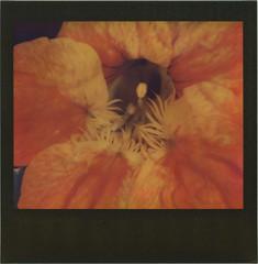 Tropaeolum Flower, Macro (sycamoretrees) Tags: analog blackframe blackframeedition colorspectra colorspectra201612 film flower impossible instantfilm integral integralfilm macro macro5slr marianrainerharbach nasturtium polaroid tropaeolum