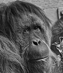 The View (heiko.moser (+ 11.700.000 views )) Tags: view affe animal animale monkey tier tiere ape orangutan blackwhite bw blackwihte blancoynegro blickkontakt blick entdecken eyecatch eyecontact einfarbig eyes discover sw schwarzweiss schwarzweis zoo tierpark monochrom mono noiretblanc natur nb nature natura nahaufnahme nero heikomoser