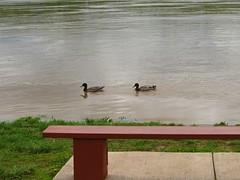 CINCINNATI, OHIO - SECOND OHIO RIVER FLOOD** (gobucks2) Tags: ohio birds cincinnati ducks rivers floods ohioriver 2011 cincinnatiohio april2011 ohioriverflood2