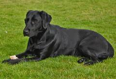 Kangoo (sjaradona) Tags: dog chien black animal canon garden labrador hond hund zwart dier kangoo 2011 img7464