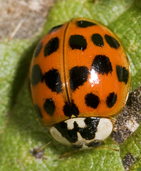 """Harlequin Ladybird (Harmonia axyridis(6) • <a style=""""font-size:0.8em;"""" href=""""http://www.flickr.com/photos/57024565@N00/1491007609/"""" target=""""_blank"""">View on Flickr</a>"""