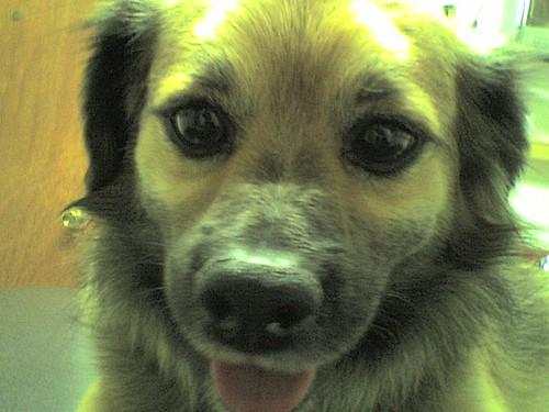 Long Hair Chihuahua and Dachshund