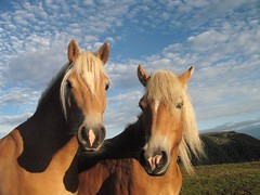 Horses (Erik il Rosso) Tags: italy horse italia cavalli cavallo dolomiti altoadige sudtirol seiseralm sudtirolo sciliar alpedisiusi santner