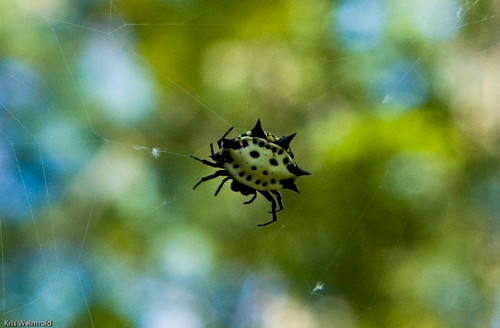 Spider at Croatan National Forest