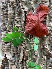 Leaf adorns Tree