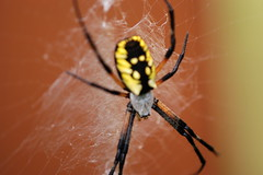 black and yellow argiope (photoplanet2007) Tags: nature animals spider wildlife bugs creepy invertebrate arachnology predatory cephalothorax prosoma jasonebrobst