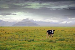 Single Yak (Luo Shaoyang) Tags: china yak grass landscape cow scenery meadows tibet single mteverest nikond200 flickrbest ultimateshot luoshaoyang