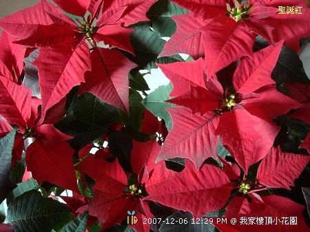 聖誕紅 (3)