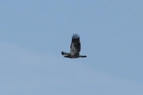 Bald Eagle (imm.)