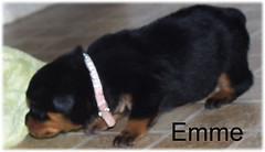 emme1 (muslovedogs) Tags: dogs puppy rottweiler teaara zeusoffspring