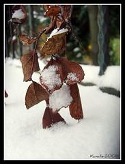 leaves under snow (+kamile+ / roseofroses) Tags: snow leaf alone istanbul sariyer