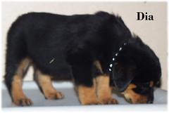 d3 (muslovedogs) Tags: dogs puppy rottweiler teaara zeusoffspring
