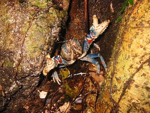 Lamington spiny cray (Euastacus sulcatus)