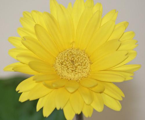 Gerbera-Bloom-Day-Jan