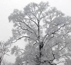 Olmstead Snow Beauty (RoxandaBear) Tags: winter snow tree dc branches january nz nationalzoo 370 2008 rockcreekpark olmstead s5 11708 beautyis olmsteadwalk secretlifeofwhite