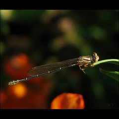 Holding on tight.... (Mary Trebilco) Tags: dragonfly handheld luckyshot hangingon theanswer blowinginthewind canonpowershots3is megashot inthebreeze ~~wv~~ kitchsplace