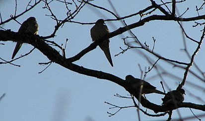 mourning doves WBS