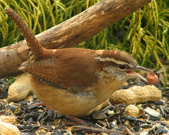The Prize! (Trish Overton) Tags: bird birds beak indiana carolina peanut wren naturesfinest