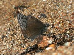 Propertius Duskywing, Erynnis propertius, male (Bill Bouton) Tags: ca brown june butterfly midsize hesperiidae bmna ventral duskywing pyrginae erynnis erynnispropertius propertiusduskywing hesperioidea propertius pyrgini bamona1995 allleps7520