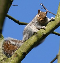 Come on, show us your nuts (joyork) Tags: tree cute squirrel branch looking squirrell cheeky onlythebestare