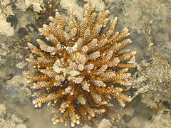 Hard Coral (Acropora sp.)