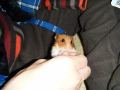 20080214 - 17 (kayako_) Tags: hamster pon