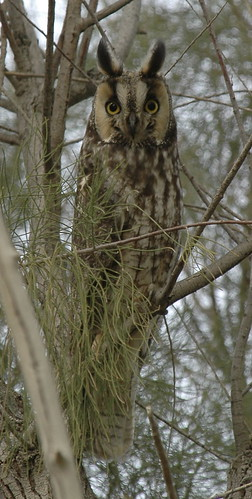 Long-eared Owl - Panoche