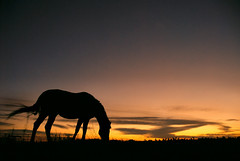 last bite before bedtime (Dan65) Tags: sunset sky horse orange field grass silhouette yellow hair gold bay sonnenuntergang wind dusk tail 7 explore dmmerung breeze pferd grazing thoroughbred equine graze karakum vollblut mywinners