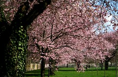 zierk_9_150308 (siggi2234) Tags: schwetzingen blüten moschee zierkirschen
