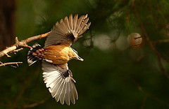 European nuthatch (Sitta europaea) in flight - 12cm long (Classicalmania (Trung Thanh Nguyen)) Tags: bird flying inflight wings nikon bokeh 300mm 300 nikkor nuthatch sittaeuropaea d1h sitta smallbird 300f4 europeannuthatch abigfave anawesomeshot megashot