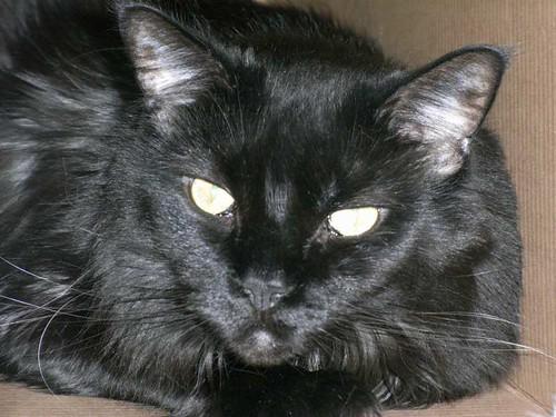 Schwarze Katzenziege