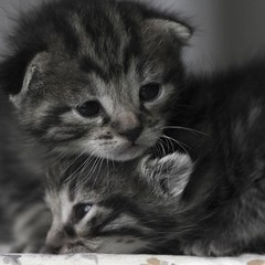 Chaton Baby Cat ( pguisard ) Tags: pet cats baby france animal club cat photography photo kitten chat babies photographer photographie tiger pussy kitty minet gato bebe sweetie catkin lovelovelove animaux 10000 amateur kattunge peg gatto gatti bb 1000 kedi matou association babycat gatito ktzchen poppet chaton barka felin 4000 photographe katje minino yavru kissanpentu digitalcameraclub candelilla chelles bbchat bebechat hnge photographeamateur kittyschoice amentum guisard mrpeg pierreeric 77asa guisardpierreeric mrpeg77 pierreericguisard pguisard  pierreericguisardphotographe