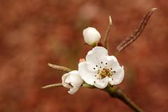 blossom2modifsm