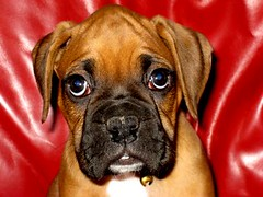 Riley's first day home (sylkyred1) Tags: dog male riley boxer firstdayhome blueribbonwinner flickrenvy goldstaraward allkindsofbeauty rileytheboxerdog