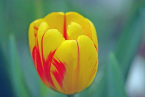yellow-red tulip, istanbul tulip festival, istanbul, pentax k10d