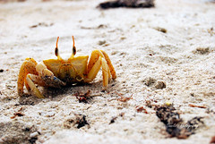 Crab 2 (Shakir's Photography) Tags: ocean trip sea camp beach look yellow island photography coast stand photo still nice sand looking mud image earth crab east ali dirt saudi arabia pause scared abu jubail   shanko