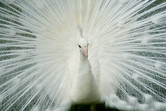 White peacock (ksvrbrg) Tags: white scotland peacock palace scone anawesomeshot diamondclassphotographer