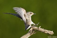 (N-S-S) Tags: bird birds nikon sigma 300mm 28 kuwait nikkor      vwc       kvwc