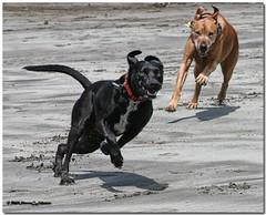 Go Barkely! (MyRidgebacks - Sharon C Johnson) Tags: beach joey labmix exploreinterestingness plus rhodesianridgeback dogplay barkley rhodesian bestinshow smrgsbord beachdogs blueribbonwinner dogsinaction greatphotographers supershot ridgebackpix 10faves dogsonthebeach dogaction dogpals 35faves dogsbeach dogsatthebeach doublefave passionphotography mywinners abigfave platinumphoto anawesomeshot impressedbeauty aplusphoto goldenphotographer betterthangood proudshopper theperfectphotographer myridgebacksphotography multimegashot multimegastar damniwishidtakenthat magicdonkeysbest photoexel naturallymagnificent lirodon