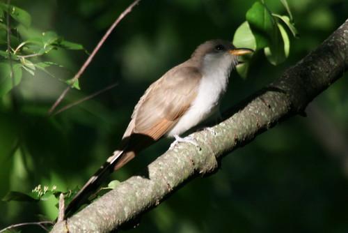 Yellow-billed Cuckoo {Coccyzus americanus}