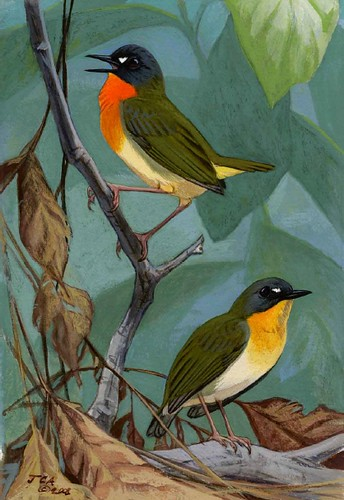 Stiphrornis pyrrholaemus - watercolor