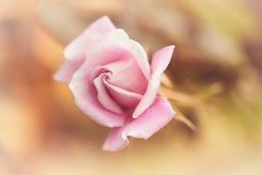 For You (Anna Kwa) Tags: rose annakwa nikon d750 afsvrmicronikko105mmf28gifed my love always foryou seeing heart soul secret essential invisible simple memories remembering