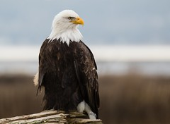 Majestic Bald Eagle (T0nyJ0yce) Tags: baldeagle wild raptor birdofprey eagle birds wildlife regal americanbaldeagle haliaeetusleucocephalus westcoast explore canon7dmarkii tamron150600
